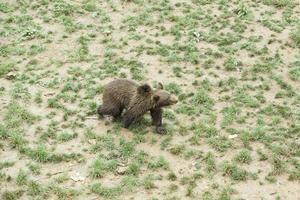 björnar i djurparken foto