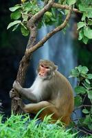 rhesus macaque macaca mulatta eller apa som sitter på ett träd framför vattenfallet foto