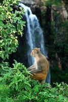 rhesus macaque, macaca mulatta eller apa som sitter på ett träd framför vattenfallet foto