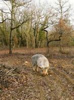 forskare av svart tryffel med gris i perigord, Frankrike foto