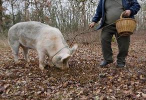 skörd av svarta tryffel med hjälp av en gris i lalbenque, Frankrike foto