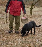 skörd av svarta tryffel med hjälp av en hund i Lalbenque, Frankrike foto