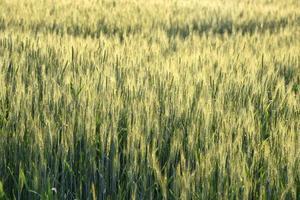 grönt vete på ekologisk gårdsfält foto