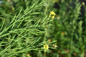 gröna senapsbälgar som växer på jordbruksfältfältet. foto
