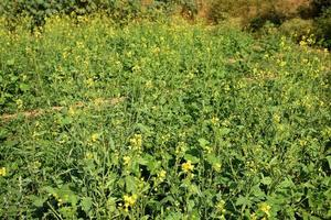 senapsblommor som blommar på växten på gårdsfältet med skida. närbild. foto