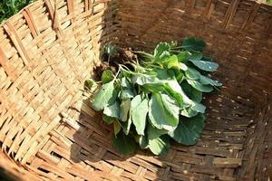 kålfält eller gård, gröna kål inom jordbruksfältet foto
