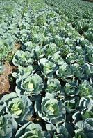 närbild av gröna kål i jordbruksfältet foto