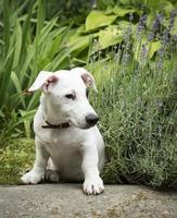 vit jack russel terrier hund foto