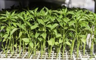 naturliga växtspiror foto