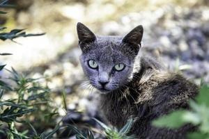 tillfällig grå katt foto