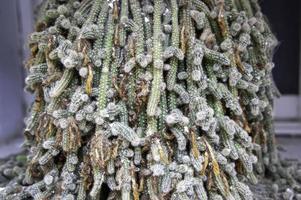 exotisk tropisk kaktus foto