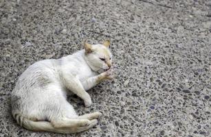 vit katt som ligger på gatan foto