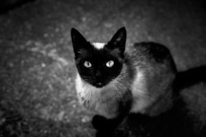 siamesisk katt på gatan foto