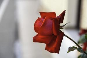 rosbuske av röda rosor foto