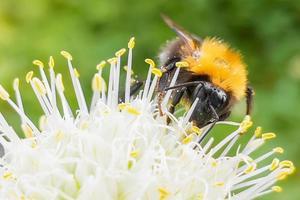 en enda humla som pollinerar en vild blomma foto