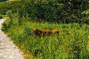 Golden Retreiver går genom det höga gräset. Glenbow Ranch Provincial Recrea Area, Alberta, Kanada foto