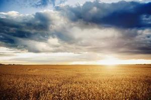 bakgrund av mogna öron av gult vetefält vid solnedgången molnig orange himmelbakgrund. kopiering av solbelysta utrymmen i horisonten på ängar på landsbygden närbild av naturen foto idén om en rik skörd