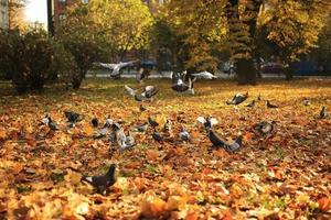en stor flock duvor lyfter från marken till luften i parken på hösten. flygande vilda duvor foto