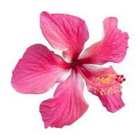 närbild av en vacker rosa hibiskusblomma isolerad på vit bakgrund. foto