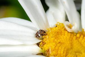 liten färgglad matta skalbagge anthrenus scrophulariae på en vit tusensköna blomma foto