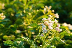 blommande grön potatisväxt på fältet, säsongsbetonad växt foto