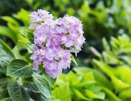 rosa hortensiablommor i trädgården foto