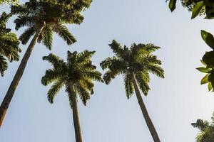 kunglig palmträd mycket populär i Brasilien foto