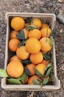 komposition med låda fulla apelsiner foto