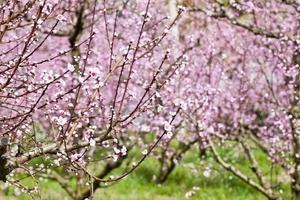 vår persikoträdgård, rosa blommor. foto