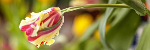 gul-röd tulpan i en vas i trädgården. vår. bloom.banner foto