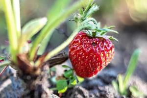 på en suddig bakgrund, mogna röda jordgubbar på en buske i trädgården. foto