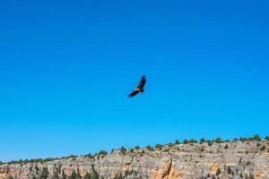 griffon gam flyger över den blå himlen foto
