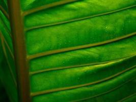vackra detaljer av humöriga mörkgröna växtblad med regndroppar. ven och struktur av ett stort blad. naturlig abstrakt bakgrund. foto