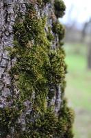 bakgrund gammal trädbark täckt med grön fluffig mossa. naturlig konsistens foto