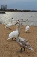 en flock svanar på stadens strand. stora fåglar vid stranden av en sjö eller flod foto