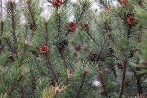 bakgrund av grön gran eller tallgrenar med bruna kottar foto