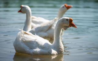 tre vita gås med orange näbb simmar i en klar damm. foto