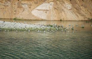en stor flock måsar på en ö mitt i sjön. foto