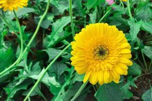 gul gerbera växer i trädgården foto