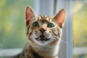 tabby katt med öppen mun tittar på kameran. foto