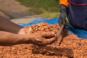 jästa och färska kakaobönor som ligger till hands foto