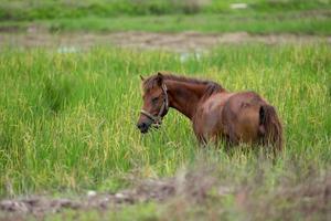 brun häst på ängen foto