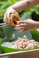 färska kakaobönor i en bondes hand foto