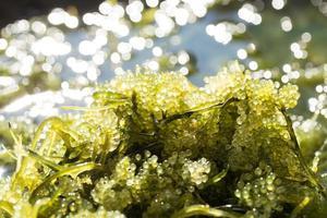 havsdruvor grön kaviar tång hälsosam mat foto