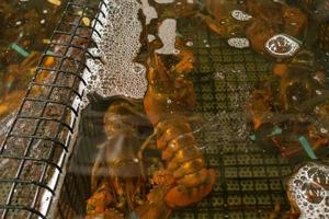 levande hummer i akvarium till salu i fiskbutik foto