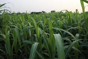 sockerrörgård på fält för skörd foto