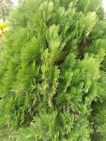 grönt färgat bladbestånd på trädgården foto