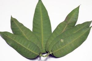 grön färgad mangobladcloseup foto