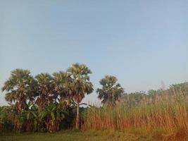 sockerrörfast närbild på fält för skörd foto