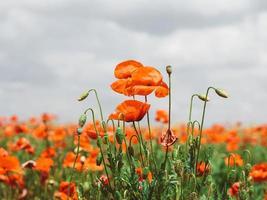 fält av röda vallmo. blommor röda vallmo blommar foto